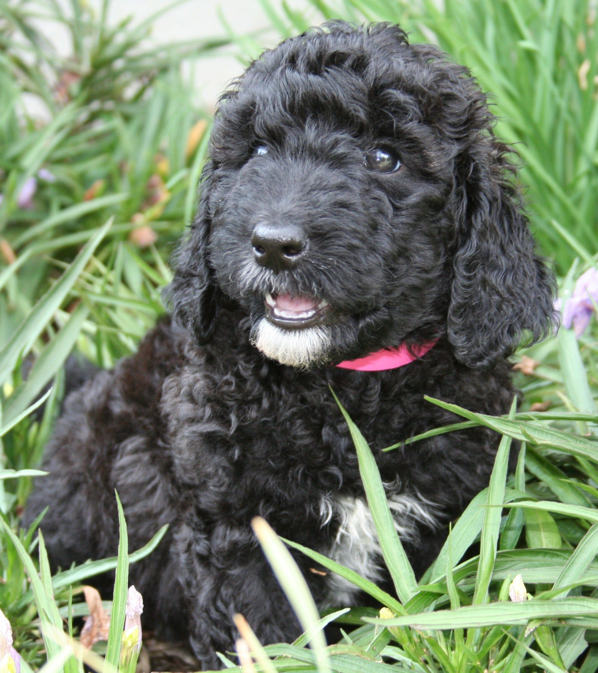 Turk Goldendoodle Dog names, Black dog names, Black dog