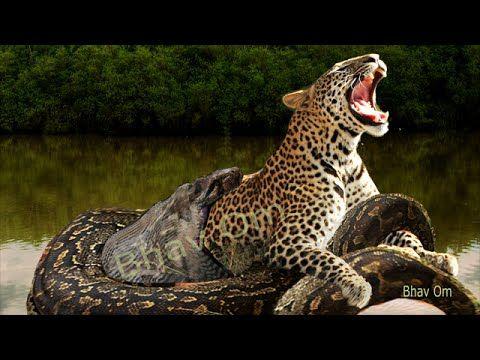 Giant anaconda vs Jaguar, vs lion  Great python vs lion real