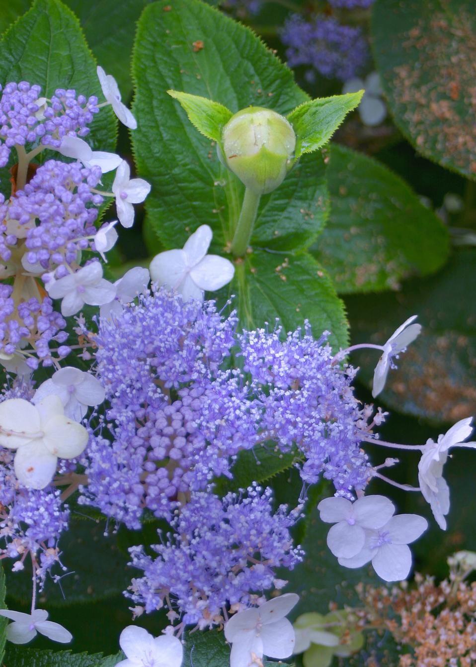 Blue Bunny Bracted Hydrangea Hydrangea Involucrata Flowering Shrubs Hydrangea Shrub Blue Hydrangea