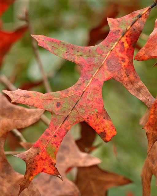 Q: What is this tree? The leaves are changing color now. I have only one of these on my property.
