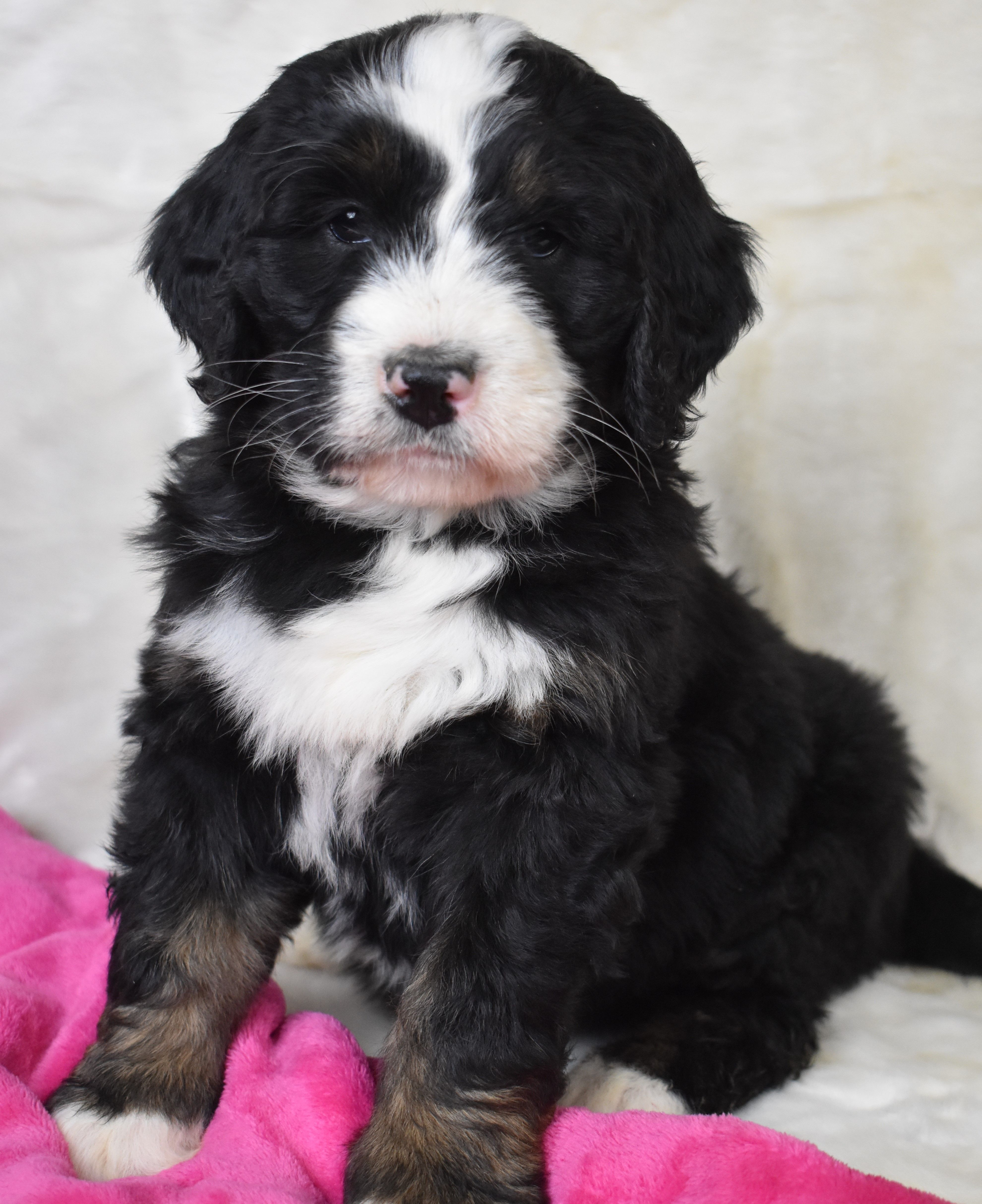 Pretty Bernedoodle in 2020 Bernedoodle puppy