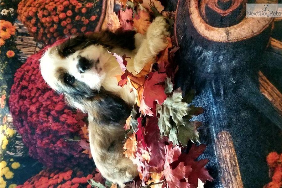 Bernie Cocker Spaniel Puppy For Sale Near Binghamton New York