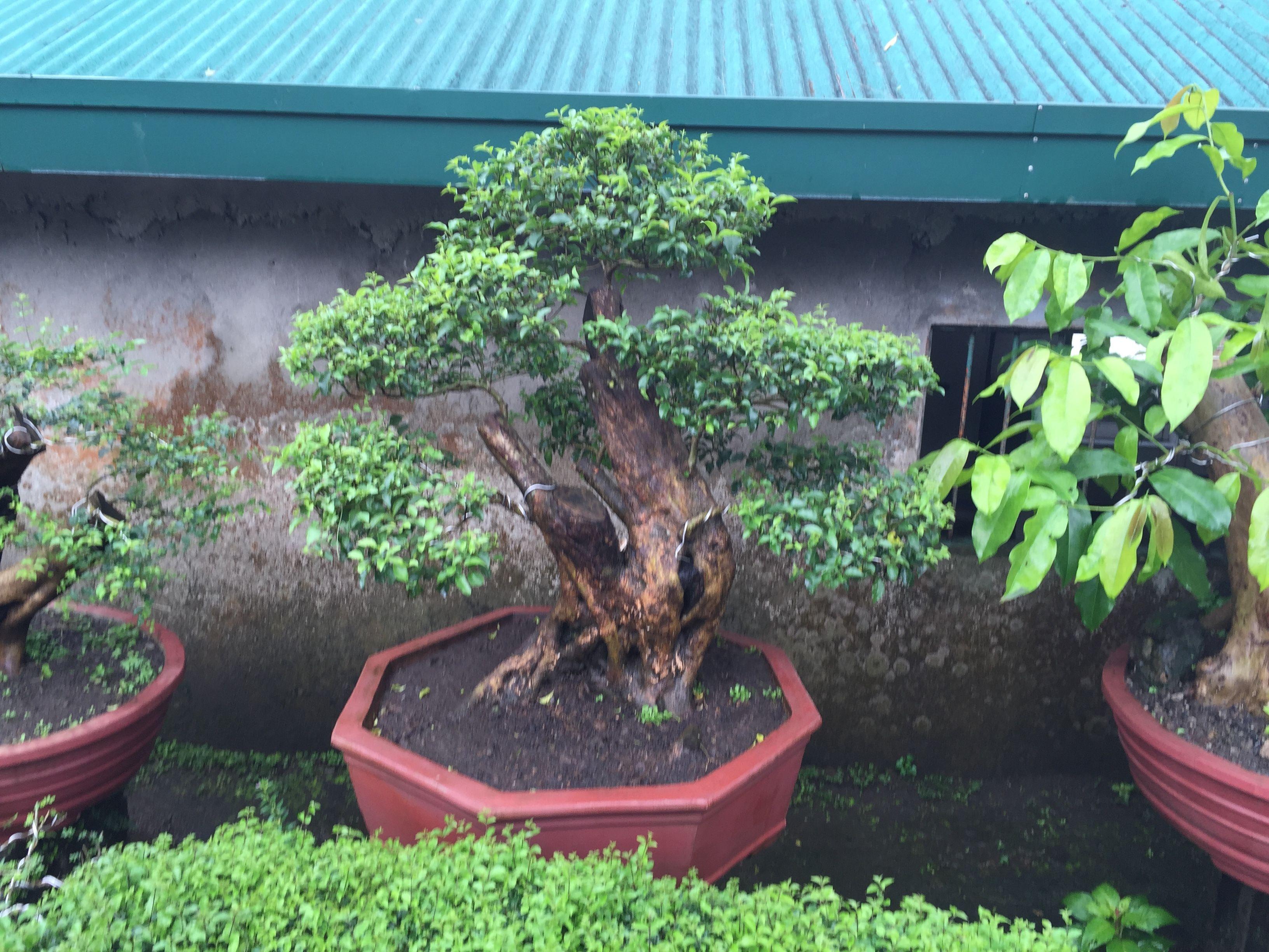 Roadside bonsai sales, Tagaytay, Philippines