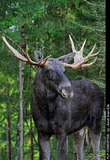 Alces alces (Elk, Eurasian Elk, Eurasian Moose, European Elk ...