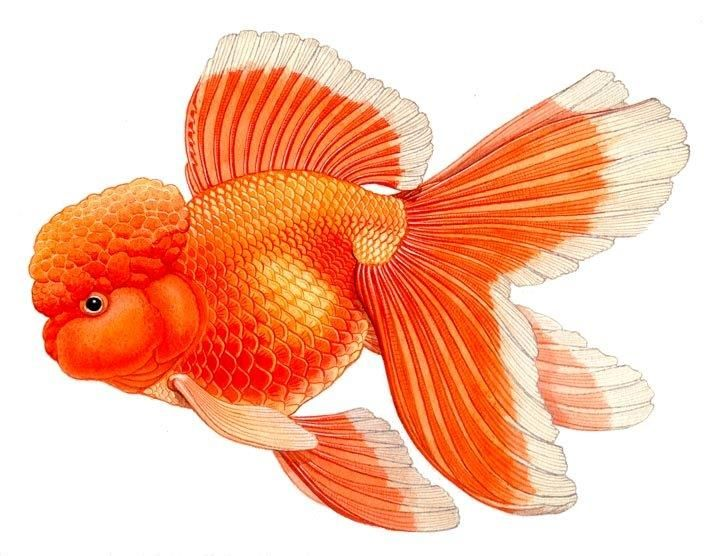 Oranda With Images Goldfish Art Goldfish Fish Anatomy