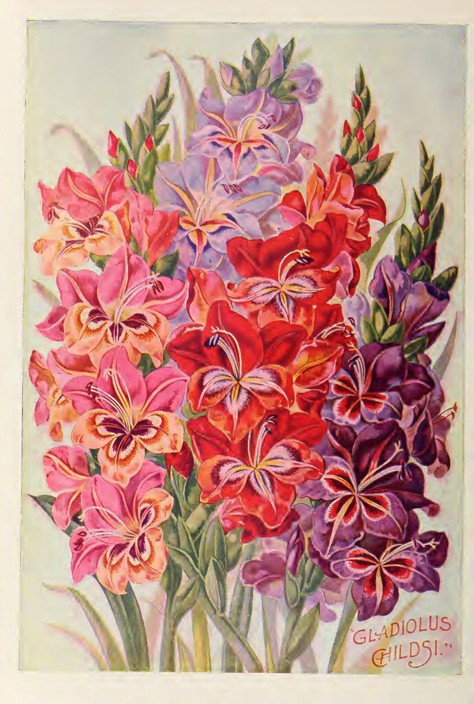 Gladiolus. John Lewis Childs, Inc. (1900) in 2020 Flower