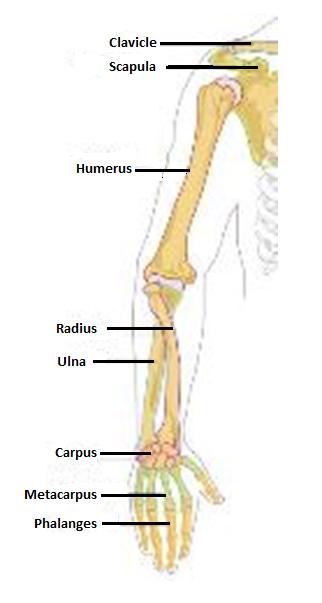 Human anatomy arm bones