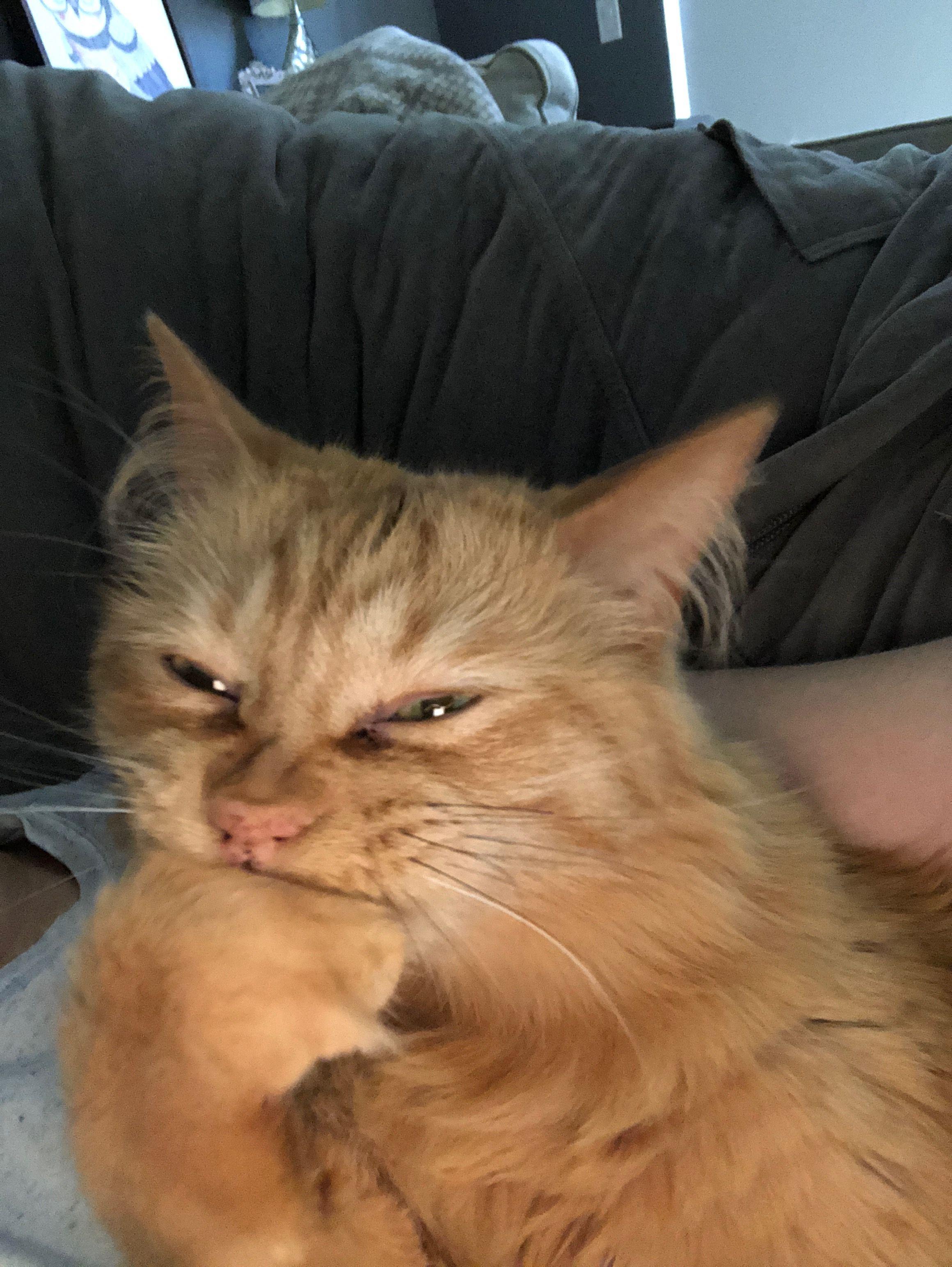 Pin by Susan Niedermeyer on Buddy the Amazing Orange Cat