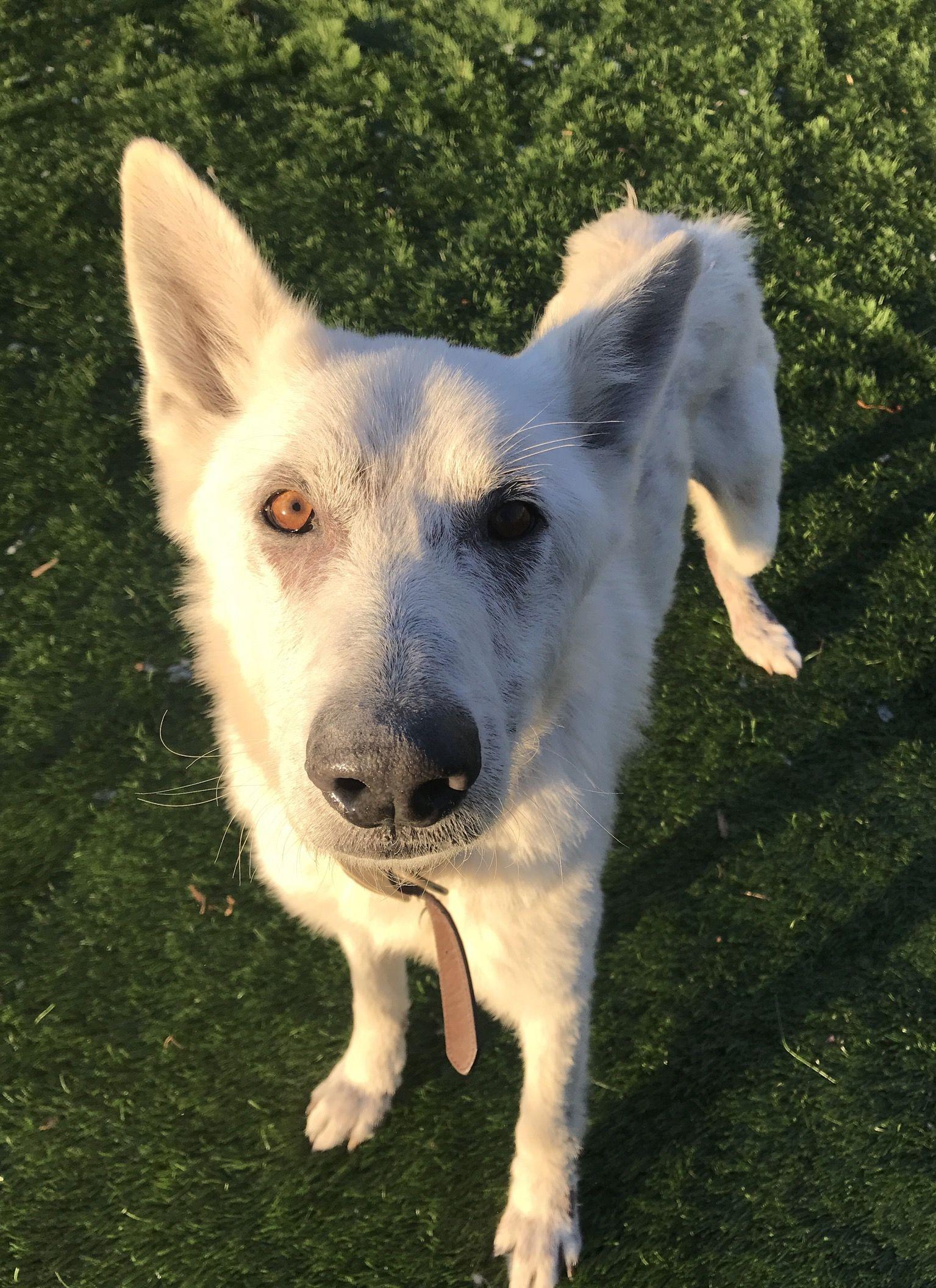 German Shepherd Dog Dog For Adoption In Raytown Mo Adn 760552 On