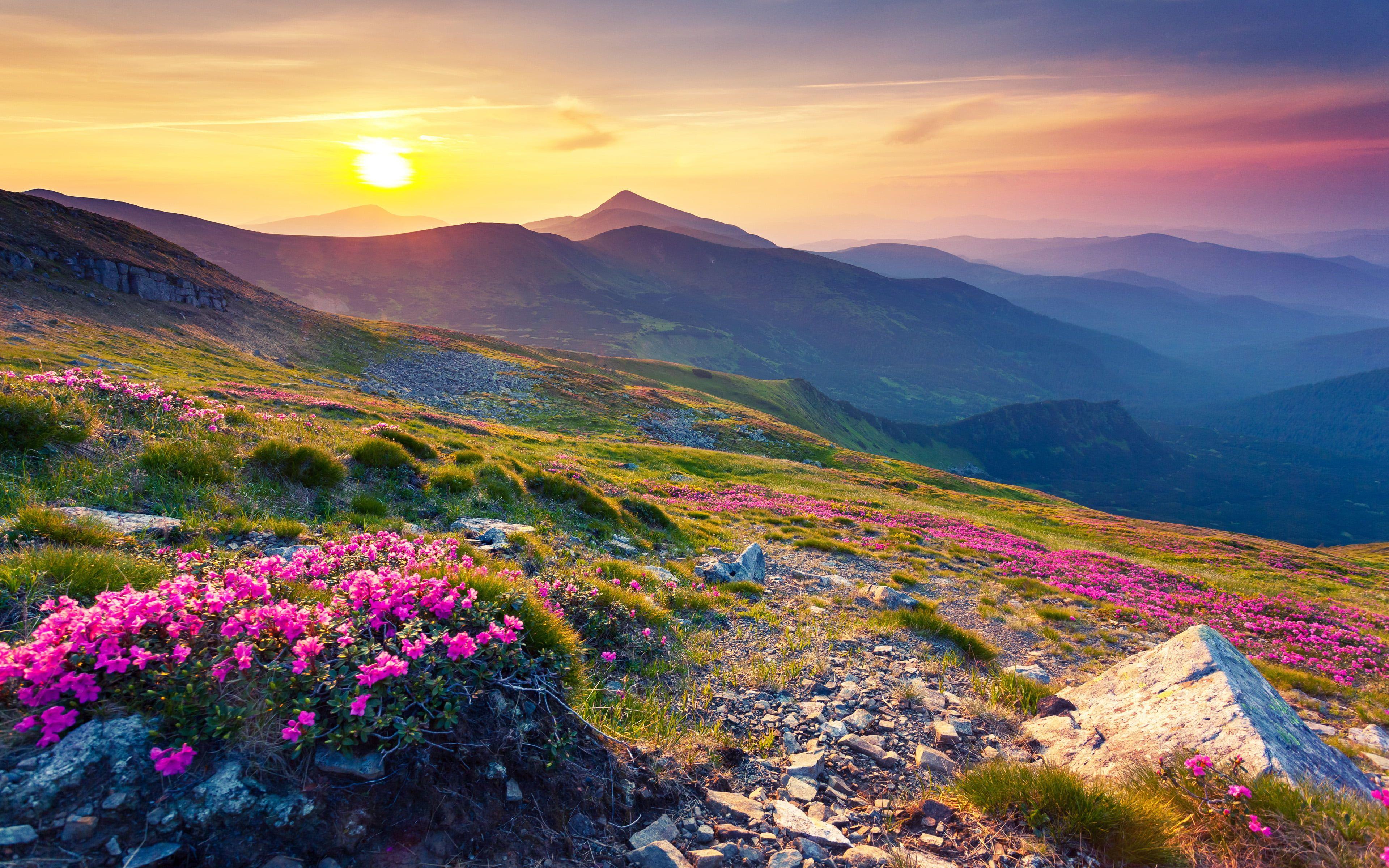 Pink Magic Rhododendron Blumen Berg Carpathian Mountains