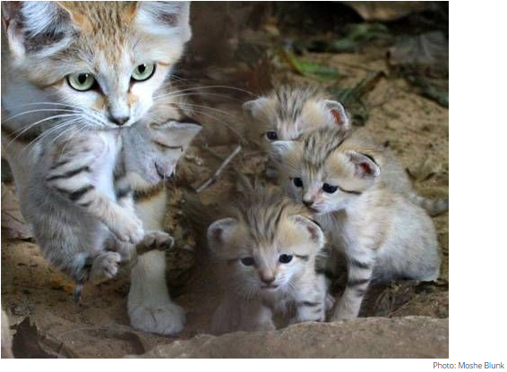 Sand cats are the size of domestic cats & are found in the