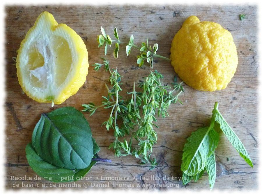 Citron doux et parfumé, à peau rugueuse avec des reliefs bien caractéristiques: Jambhiri var. Limoneira, citrus, en pot, à hiverner dans l'orangerie, au frais, bien humide.