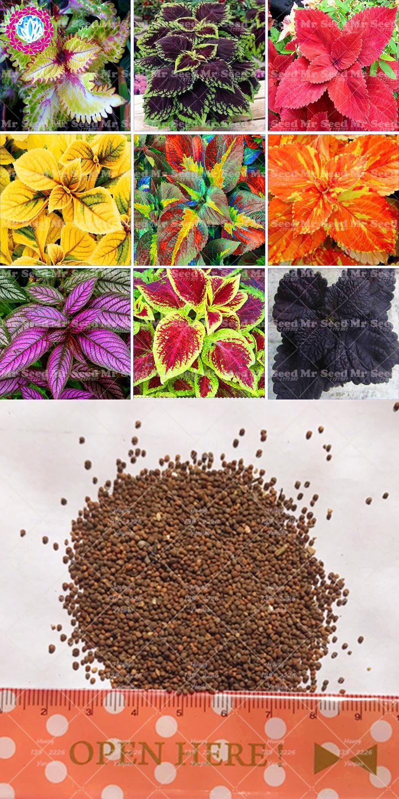 100pcs Janpanse Bonsai Rare Coleus Seeds Flower Seeds Beautiful