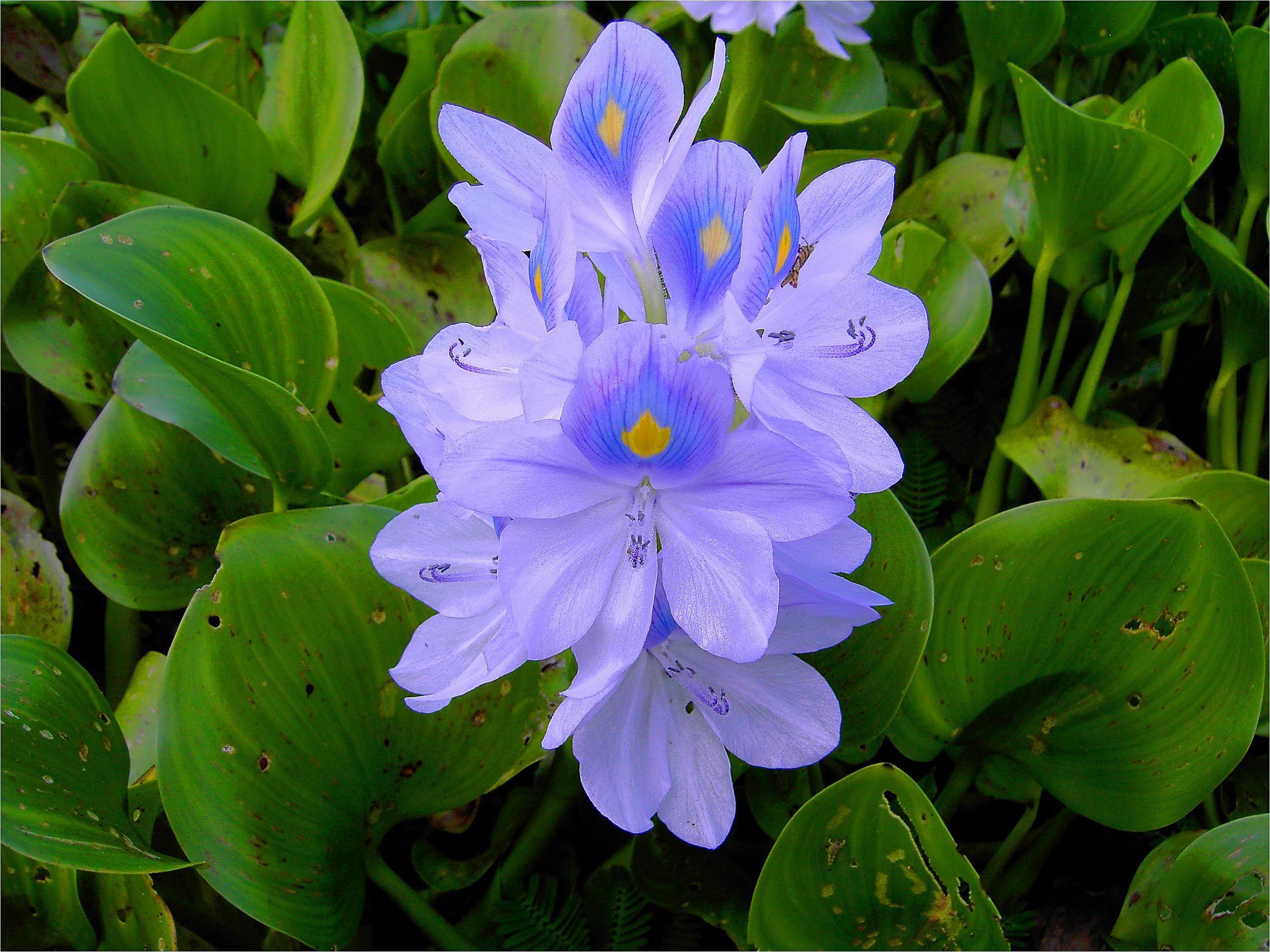 Flor azul do Brasil. Escreva para contato@floresnaweb.com para encomendar suas flores para presente.