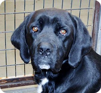 San Jacinto Ca Mastiff Labrador Retriever Mix Meet Mastiff Lab Male X A Dog For Adoption Labrador Retriever Mix Dog Adoption Mastiff Mix