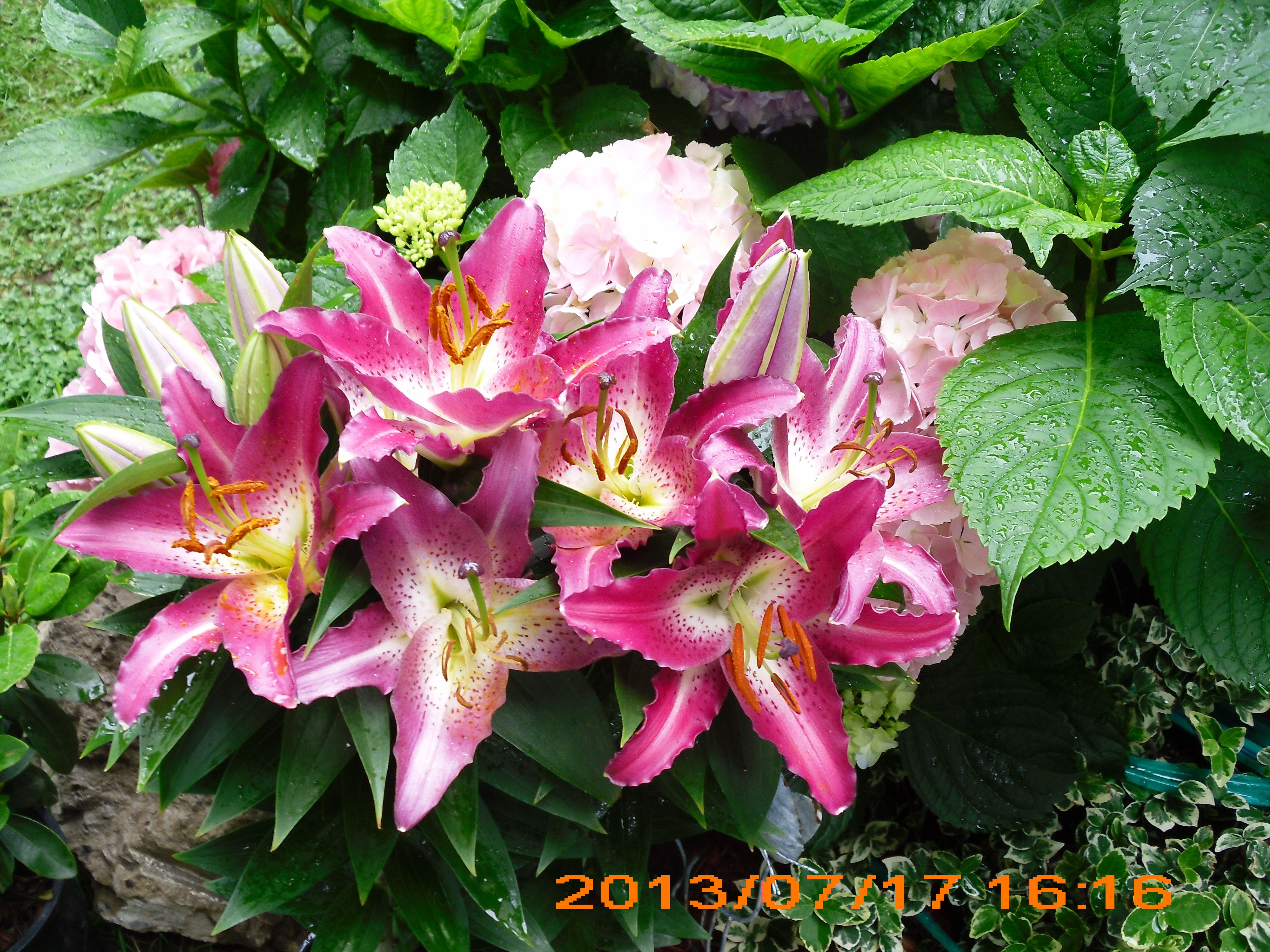 Giant pink lilies