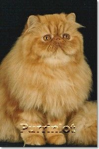 Red Classic Tabby Persian Cat   awww   looks like my