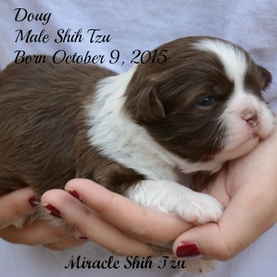 Shih Tzu Puppies For Sale In Ne Ohio Cleveland Akron New Puppy