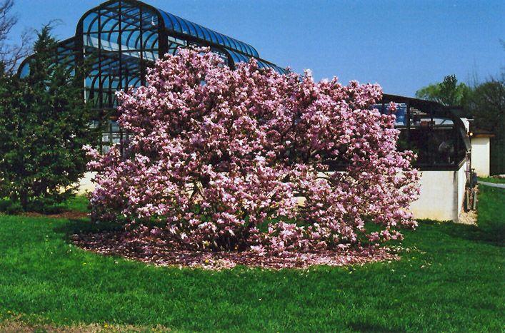 Pinkie Magnolia Magnolia Pinkie At Lakeshore Garden Centres