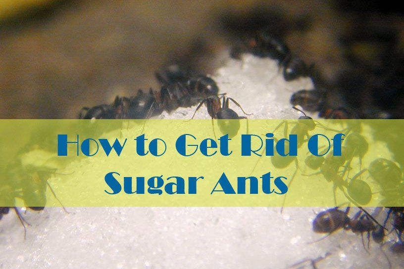 17 Natural Ways To Getting Rid Of Sugar Ants In House And Kitchen