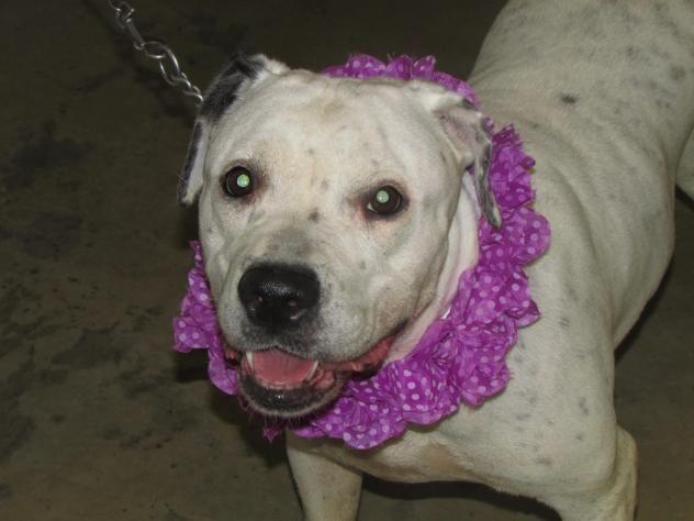 Adopt Dottie On Petfinder Dogs Pitbull Terrier Bull Terrier Mix