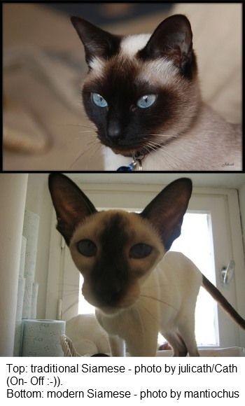 Modern Vs Traditional Siamese Cats Siamese Cats Siamese Cats