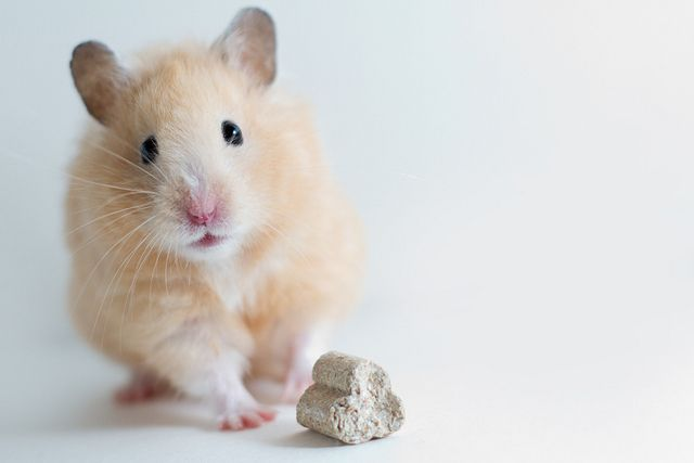 Give Me A Smile Cute Hamsters Syrian Hamster Hamster