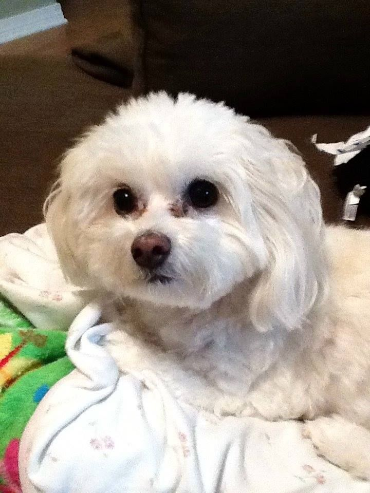 Missing Dog Small White Maltese Poodle Mix From Strawberry Plains