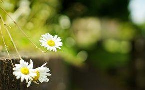 Обои цветы, ромашка, широкоформатный, размытие, обои для рабочего стола, обои, зелень, полный экран, цветок, фон, ромашка, широкоформатный, цветы, ...