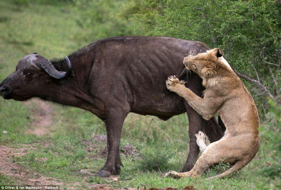 Pin by Tommy Fox on BUFFALO KILLS Elephant rescue, Tiger