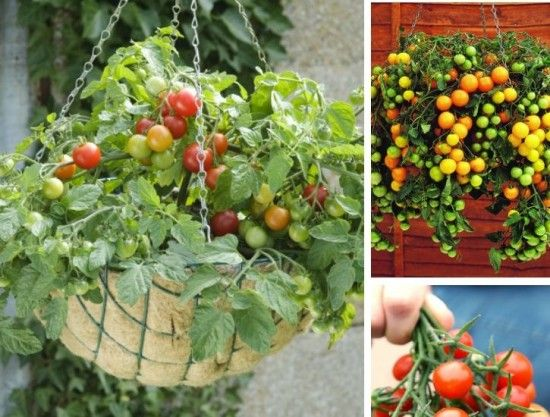 How To Grow Upside Down Tomatoes In Buckets Gardening 640 x 480