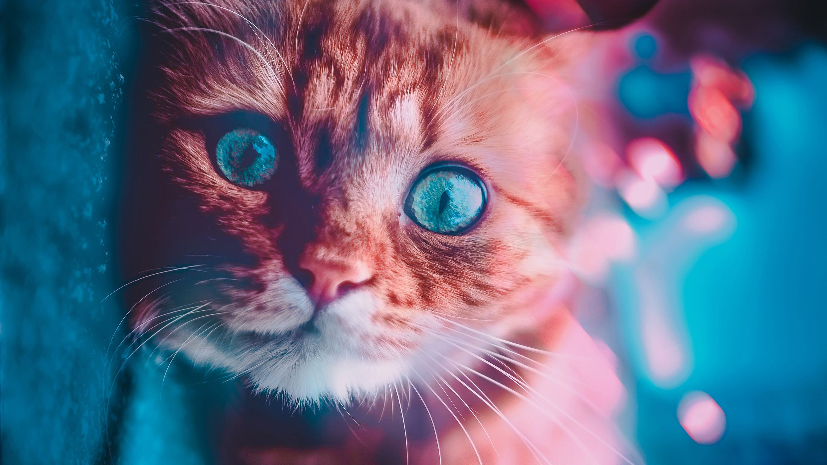 Wallpapers Fur Blue Cat Small To Medium Sized Cats Snout White Tabby Cat Cats Tabby Cat