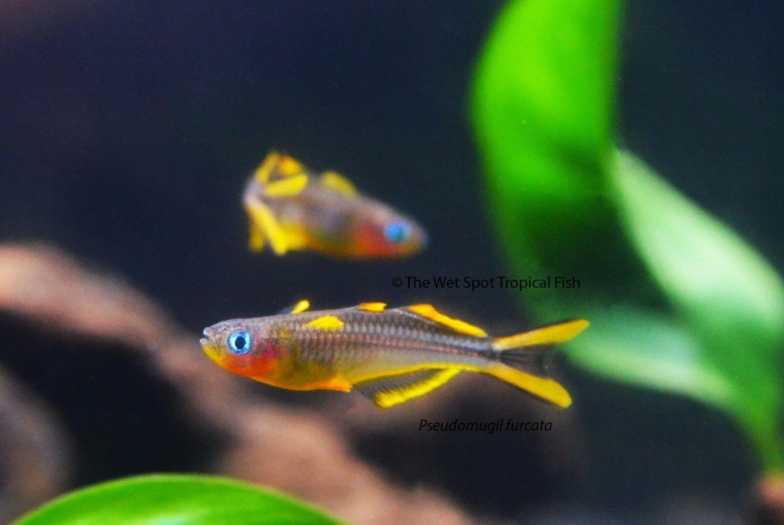 Forktail Blue Eye Rainbowfish Tr Pseudomugil Furcatus 50 81 One Day Shipping In 2020 Aquarium Fish Fish Tropical Freshwater Fish