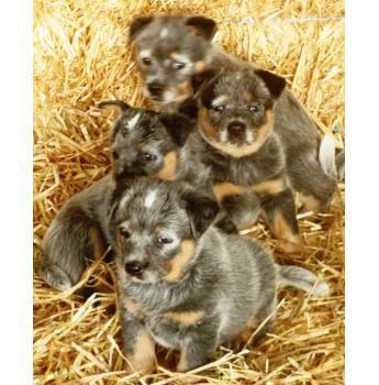 Australian Cattle Dog Puppies Australian Cattle Dog Puppy Cattle Dog Pedigree Dog