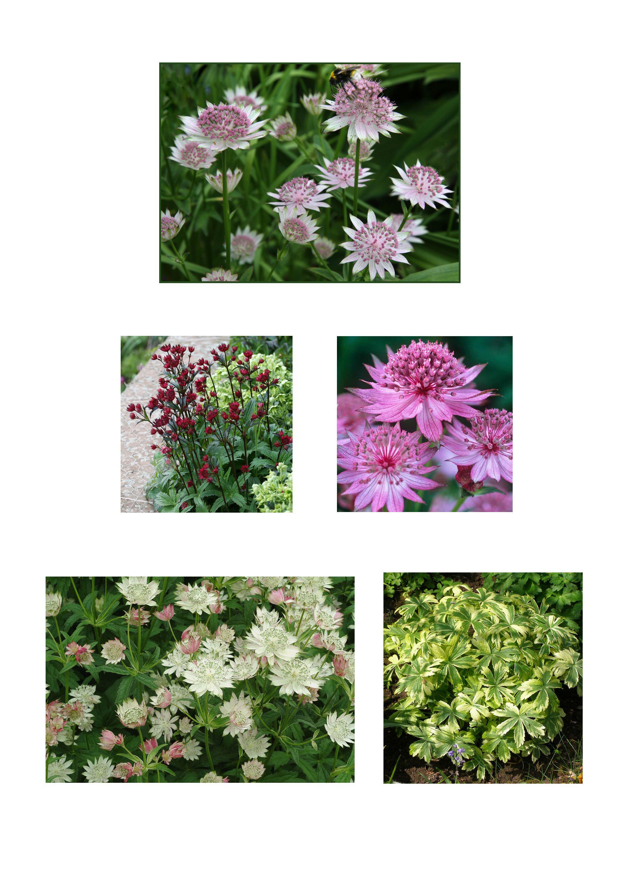 astrantia varieties buckland claret roma and magnum blush caroline benedict smith garden
