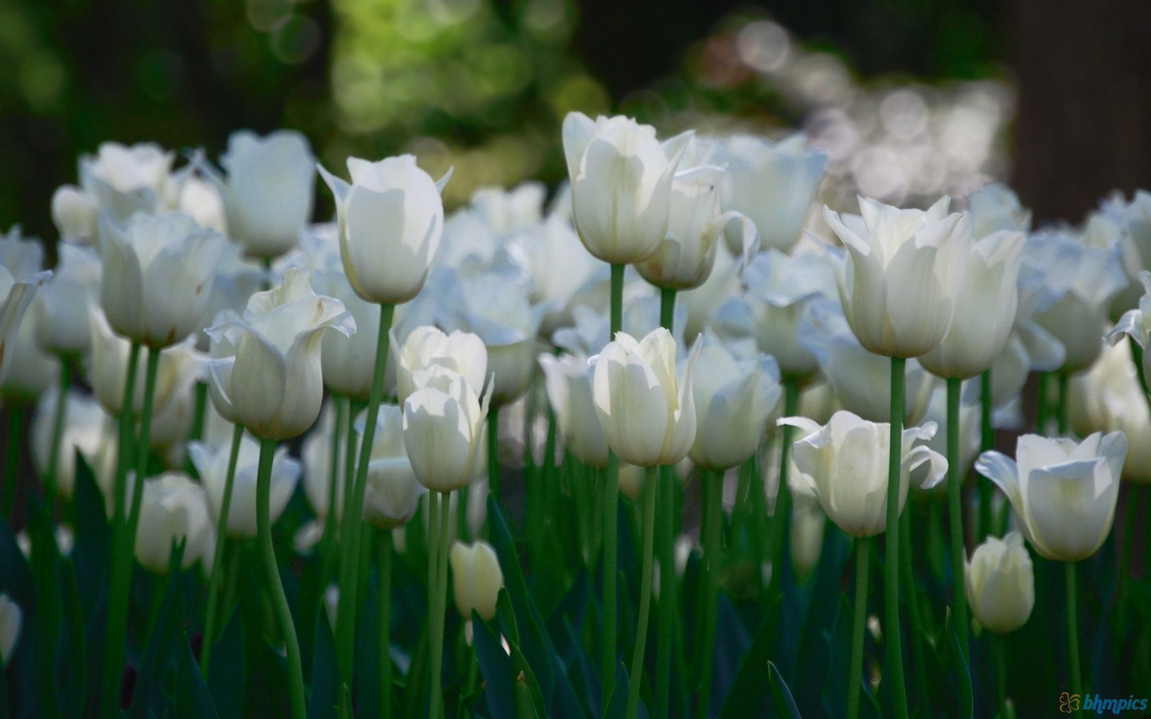 White Tulips Flower Garden Flower Pinterest Tulips Flowers