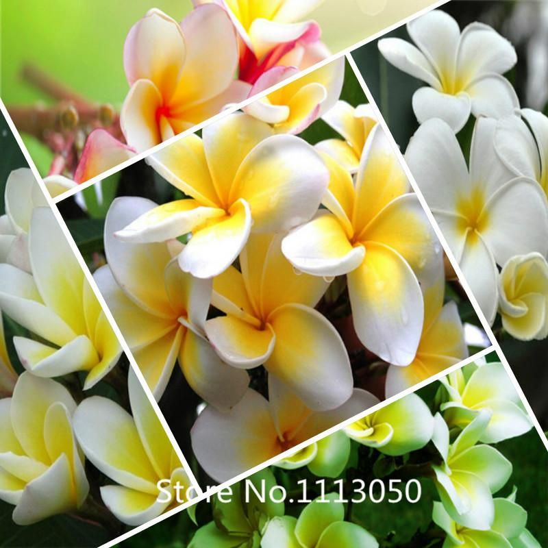 [Visit to Buy] New Arrival! Heirloom100 Seeds / bag Plumeria seeds Colors Flower seeds Fresh  High Quality tree seeds Plumeria Rubra Frangipani #Advertisement