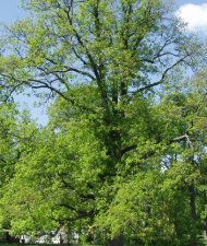 Quercus robur - metsätammi