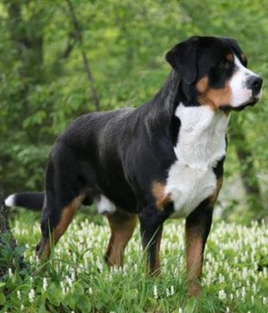 Greater Swiss Mountain Dog Price Temperament Life Span