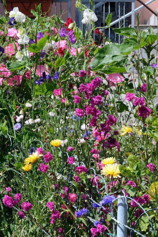Bauerngarten Nichtsnutz Sichtschutz Pinterest Bauerngarten