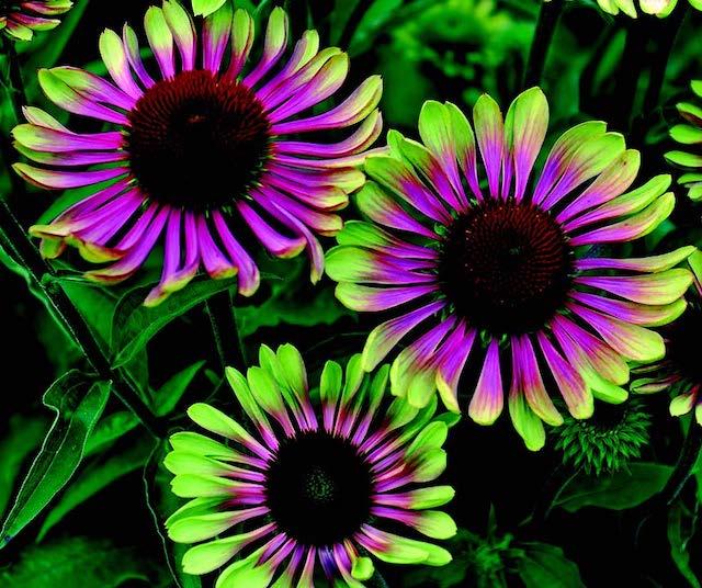 Green Twister Coneflower In 2020 Flowers Perennials Hardy Perennials Green Power