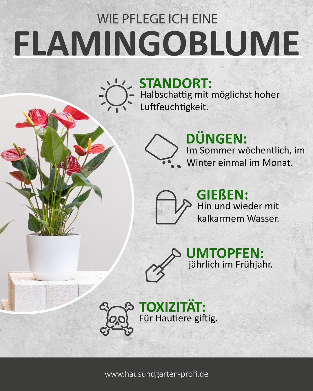 So einfach Pflegen sie eine Flamingoblume. (Standort, Düngen, Gießen, Pflege)