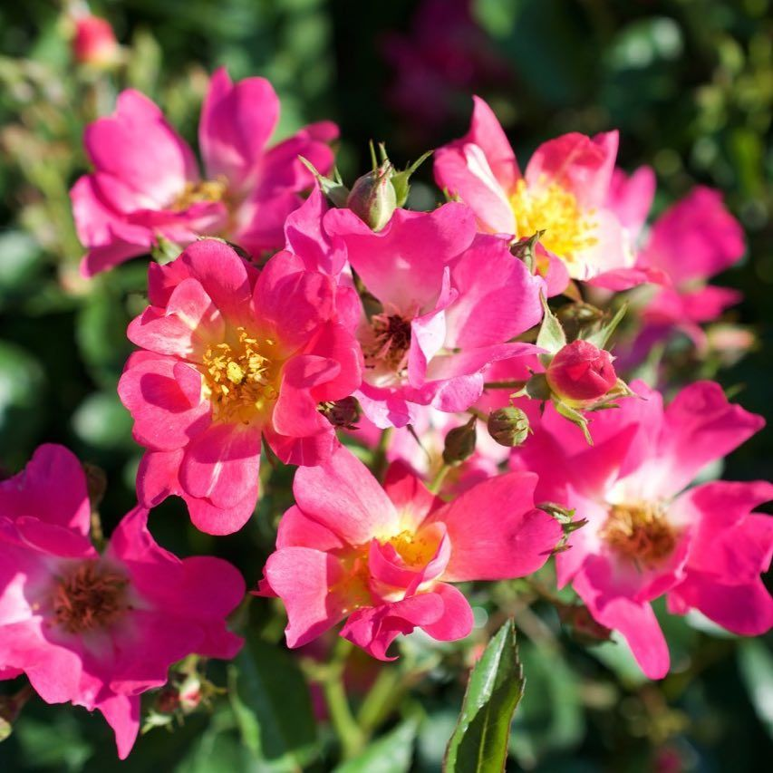Pink Drift Rose Has Deep Pink Flowers With A Soft Faded Center
