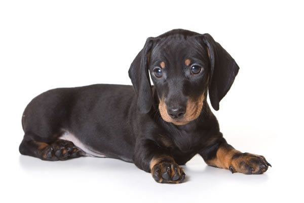 Quiz What S Your Wiener Dog Iq Dachshund Puppies Dachshund Dog