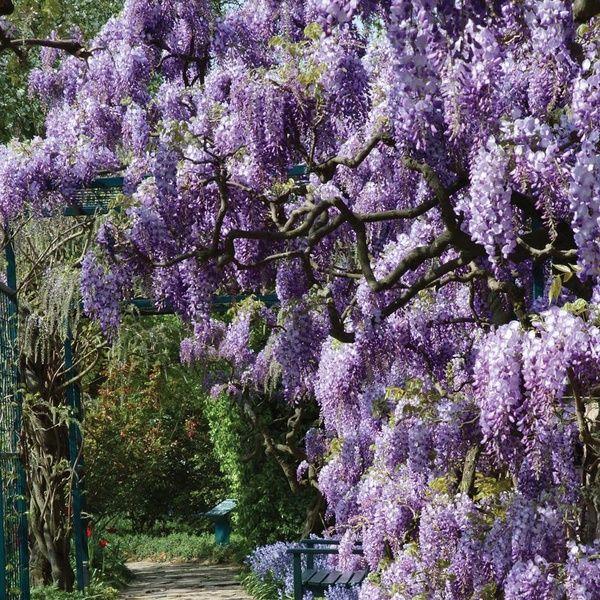 Love Wisteria Jardin De Flores Enredaderas Perennes A Pleno Sol