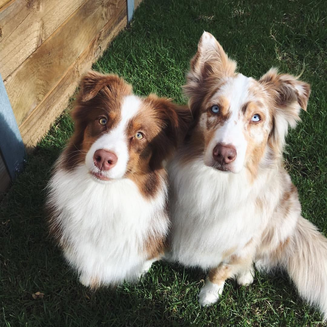 Two Red Dogs Myaussietribe Australianshepherd Dogsofinstagram