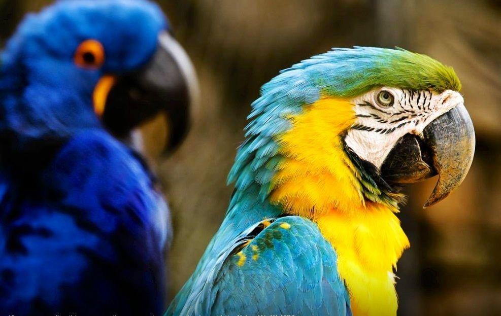 Arara e papagaio