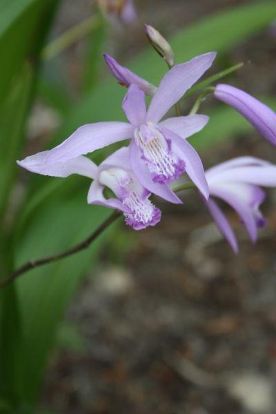 Bletilla Striata Soryu Blue Flowering Plants Ground Orchids Purple Flowering Plants