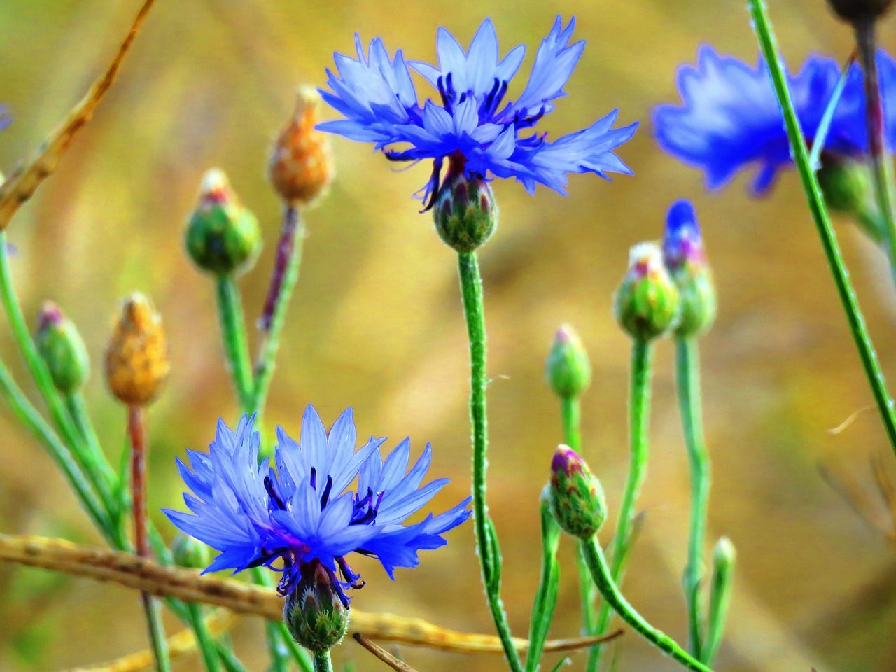 Free Image On Pixabay Cornflowers Blue Wild Flower Wild Flowers Beautiful Flowers Cornflower