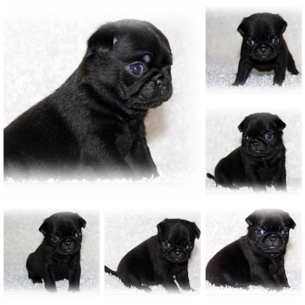Black Female Pug Pugs Pets Dogs